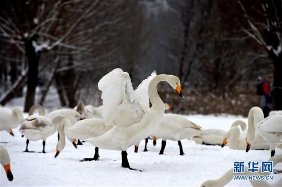 雪中天鹅舞