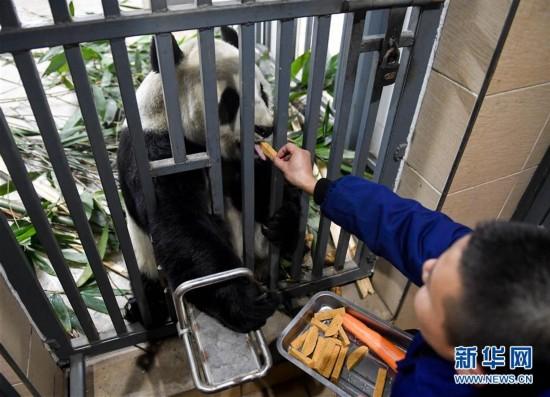 揭秘大熊猫的冬日生活