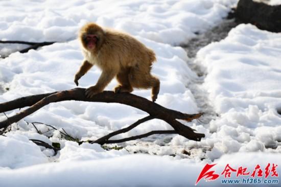 """合肥野生动物园的动物极寒天里过""""暖冬"""""""