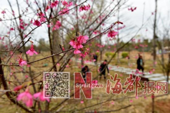 泉州首个樱花公园春节前开园迎客