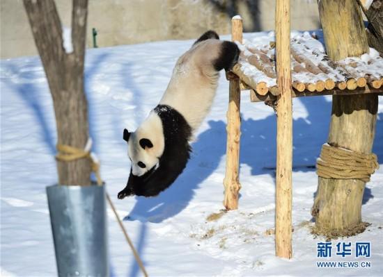 """辽宁沈阳:""""功夫熊猫""""雪中显身手"""