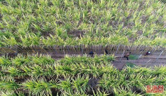 泉州白洋村:甘蔗丰收啦!