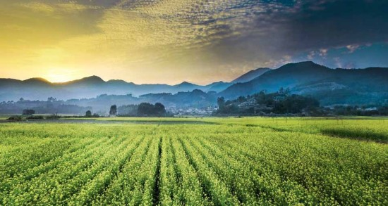 水稻景观手绘效果
