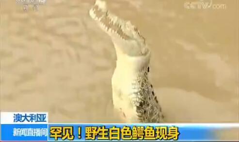 罕见!澳大利亚野生白色鳄鱼现身