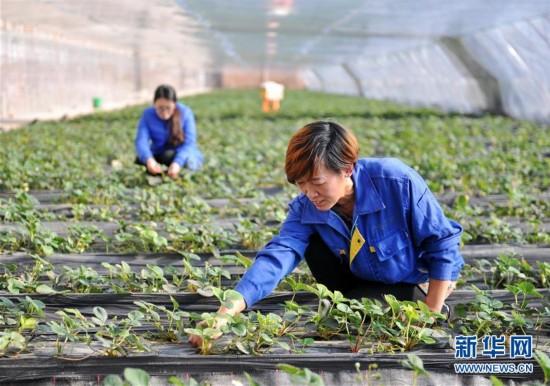 (经济)(1)河北青县:合作社助农增收