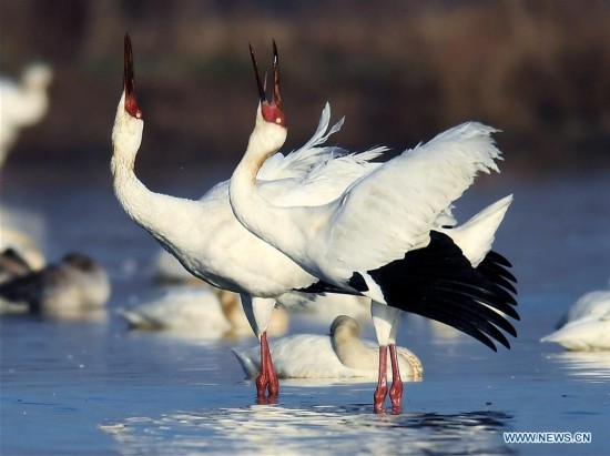 CHINA-NANCHANG-POYANG LAKE-WHITE CRANE(CN)