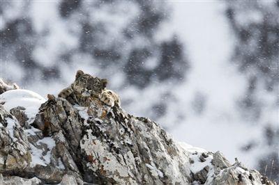 澜沧江:最佳雪豹自然体验点