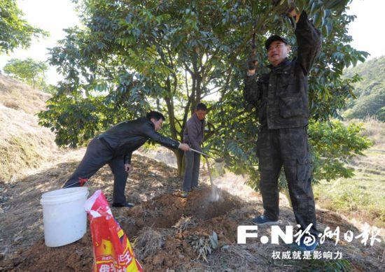 """福州闽清:改良果树推出精品 橄榄树成了""""摇钱树"""""""