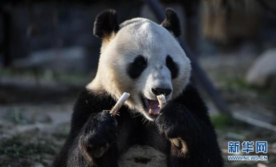 """大熊貓""""華豹""""""""金寶寶""""啟程前往芬蘭"""