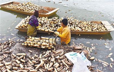 安新县东向阳村大力发展莲藕种植业