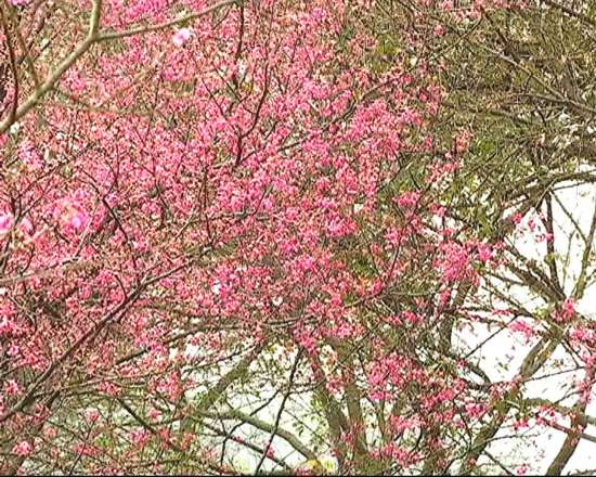 南宁石门森林公园樱花开啦 公园:请市民文明赏花