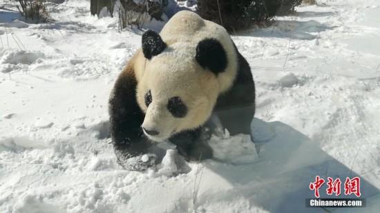 1月23日,在辽宁大连森林动物园的大熊猫享雪天乐趣,在雪地里打滚