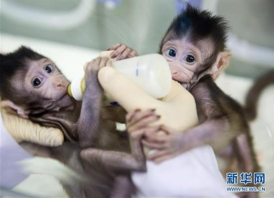 (科技)(11)世界生命科学重大突破! 两只克隆猴在中国诞生