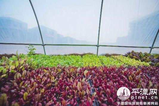 """平潭北港梯田打造可食地景 城市变得更加美丽和""""美味"""""""