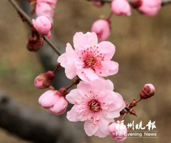 鼓山梅里3000多株梅花盛放 最佳观赏期约半个月