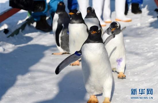 """极地馆企鹅:""""外边这么冷,我想去看看!"""""""