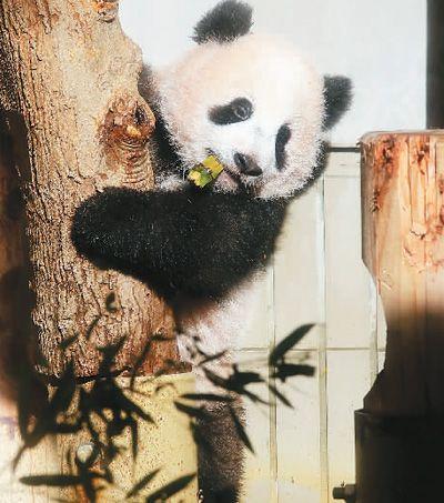 大熊猫香香-动物直播 萌翻 全球图片 43433 400x453
