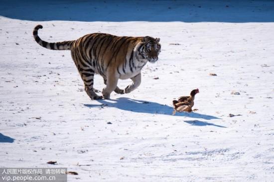 哈尔滨:东北虎进行耐寒和野化训练【2】