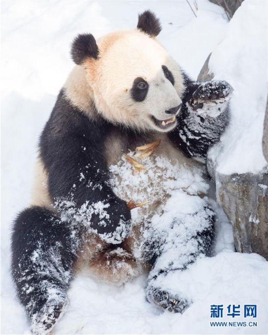 """#(环境)(4)熊猫""""戏""""雪"""