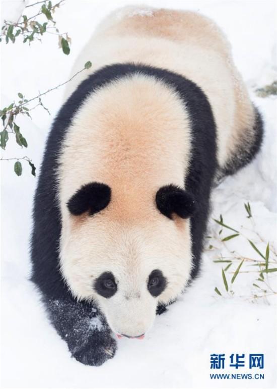 """#(环境)(5)熊猫""""戏""""雪"""