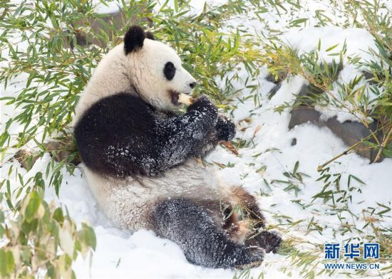 """#(环境)(3)熊猫""""戏""""雪"""
