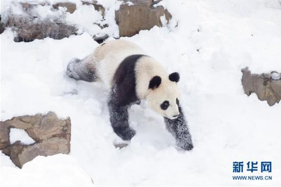 """#(环境)(2)熊猫""""戏""""雪"""