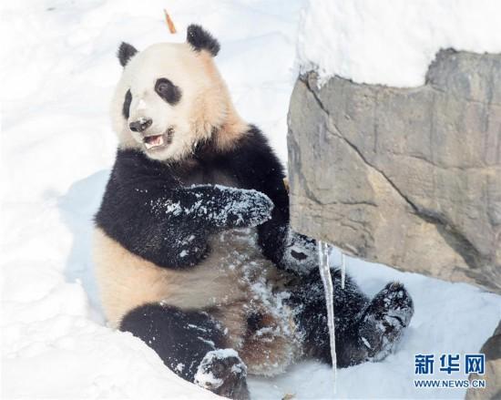 """#(环境)(1)熊猫""""戏""""雪"""