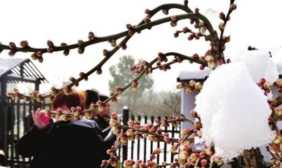 苏州香雪海梅花节开幕 春节将迎来最佳赏梅期