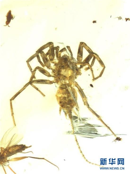 (图文互动)(1)研究发现1亿年前远古蜘蛛长有尾巴