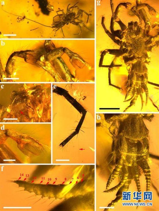 (图文互动)(2)研究发现1亿年前远古蜘蛛长有尾巴