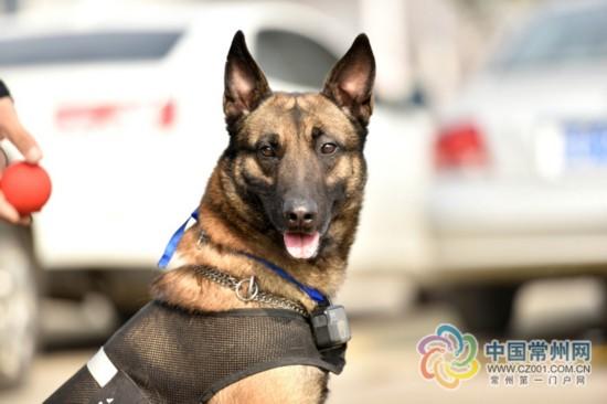 常州唯一缉毒犬泰克春运期间在客运中心保安全