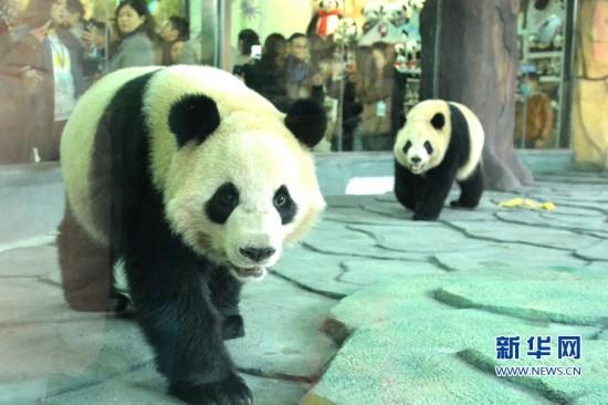 """大熊猫""""星语""""""""星愿""""安家泉州 萌态十足吸睛无数"""