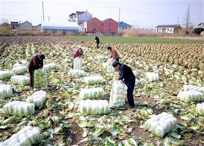 南通海安村民大白菜丰收 亩产5000多公斤
