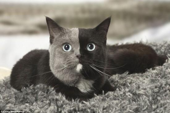 """双面猫:胚胎嵌合令英国短毛猫生就有趣""""阴阳脸"""""""