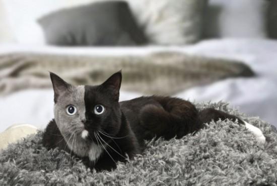 """摄影师拍摄罕见""""双脸猫"""" 或为两个受精卵融合结果"""