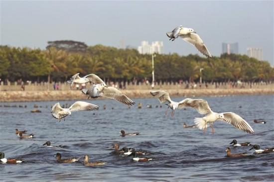 深圳湾再现群鸟飞翔景观