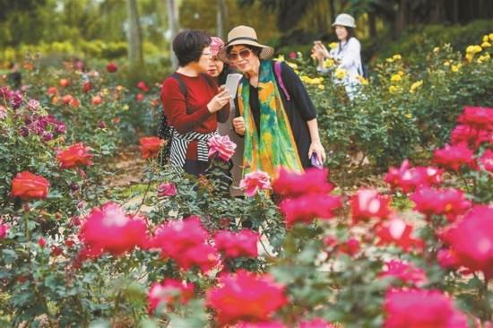 深圳:天气和暖 月季花艳