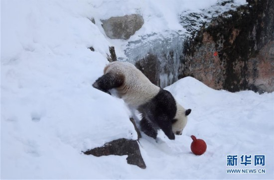 """旅芬大熊猫""""华豹""""和""""金宝宝""""适应新环境"""