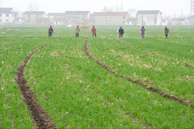 南通海安农民加强小麦田间管理 力夺丰收