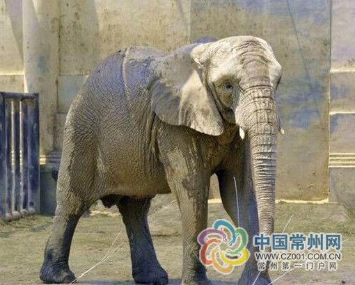 6头非洲象来常州定居 系非洲国宝级珍稀动物