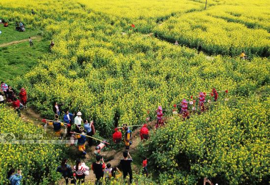 宜州:百亩油菜花开引客来(组图)