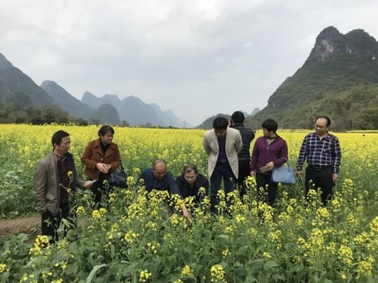 自治區農業廳領導到陽朔視察油菜花