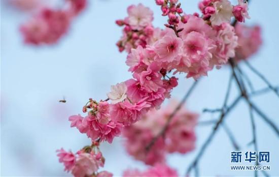 (环境)(8)樱花海 映春光