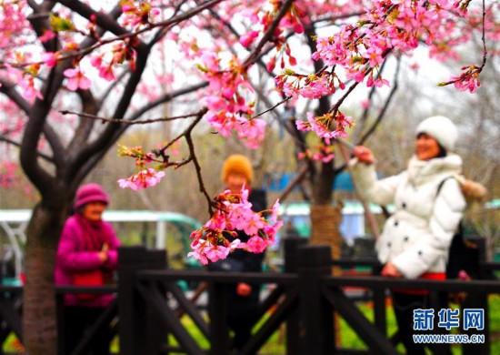 (社会)(1)上海樱花节即将揭幕