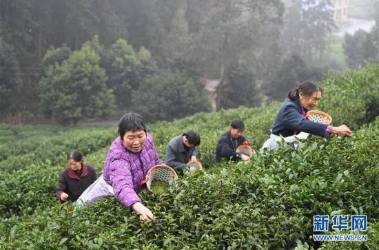 (社会)(1)春茶采摘正当时