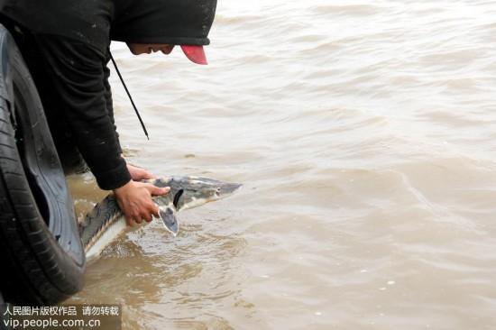 浙江温岭渔民捕到野生中华鲟 5万元不卖放归大海【4】