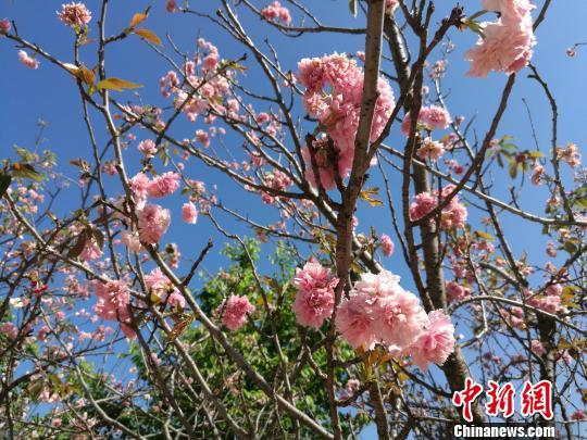 华南地区规模最大樱花园数万株樱花相继盛开吸引大批游客