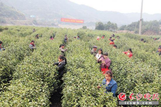 昨日,宁乡沩山茶开园采摘,近万人迎来采茶季。  长沙晚报记者 张禹 通讯员 龚再蓉 摄影报道
