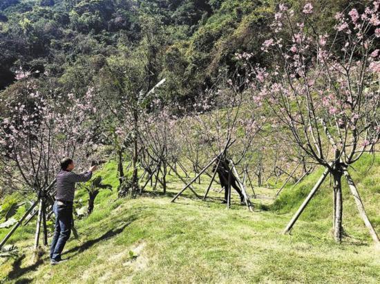 深圳梧桐山藏着一片樱花园