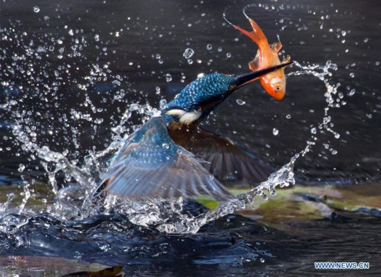 Kingfisher catches fish at Plum Garden in Wuxi City, China's Jiangsu